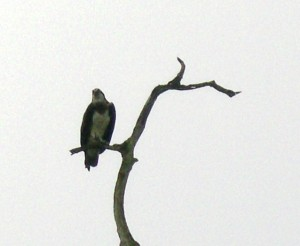 12-Osprey Perch