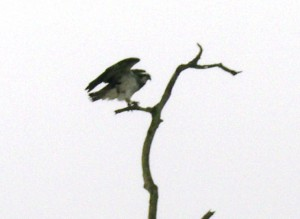 13-Osprey Wing