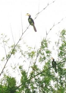 15-Malabar-Hornbill