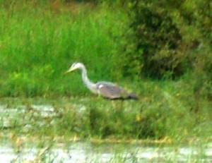 4-Grey Heron