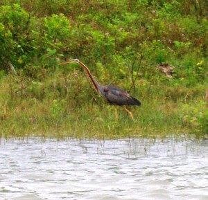 5-Purple  Heron