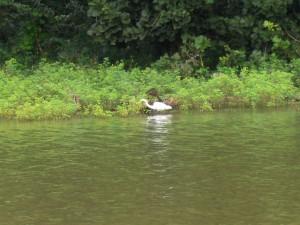 8-Smaller Egret