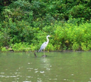 9-Greater Egret