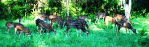 Deer A