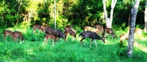 Deer B