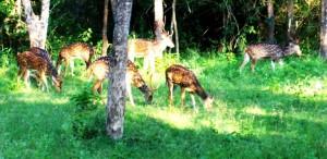 Deer C